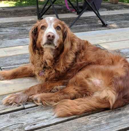 Bernese Mountain Dog mixes: Golden Retriever Mix