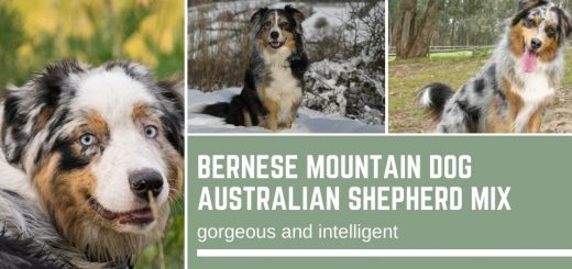 Bernese Mountain Dog Australian Shepherd Mix: gorgeous and intelligent