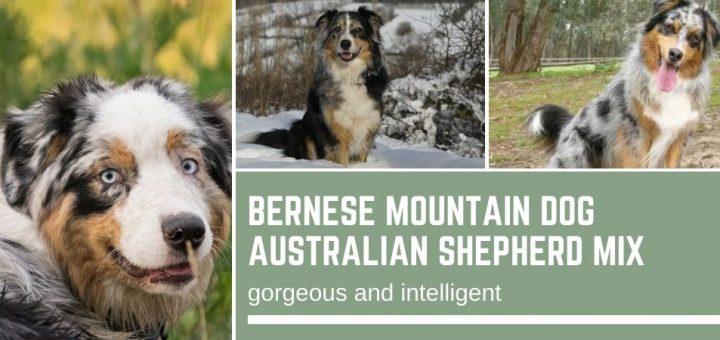 Bernese Mountain Dog Australian Shepherd Mix: gorgeous and intelligent