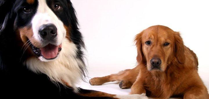 Bernese Mountain Dog – Golden Retriever Mix