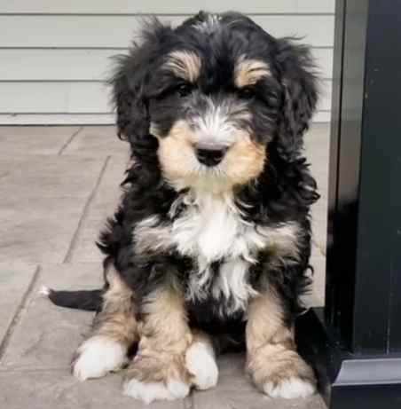 Standard Bernedoodles come from cross breeding Bernese Mountain Dog with Standard Poodle