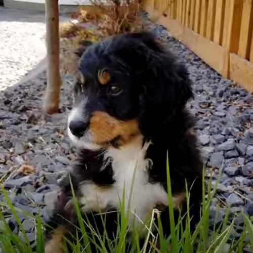 Mini Bernedoodles may be hypoallergenic for some allergy sufferers