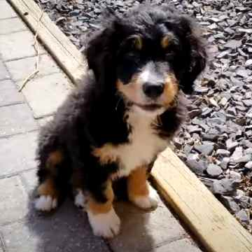 Mini Bernedoodles come in three different varieties in terms of coat quality