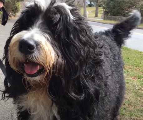 Full grown bernedoodle size may vary quite a bit from dog to dog