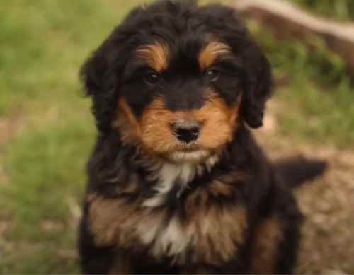 Bernedoodle price depends on several factors, including the Bernedoodle size and even their color