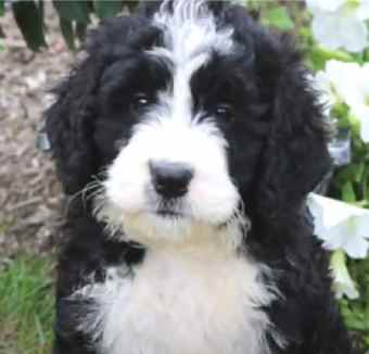 A typical range for Bernedoodle prices in the United States is $2000 - $5000 depending on the breeder