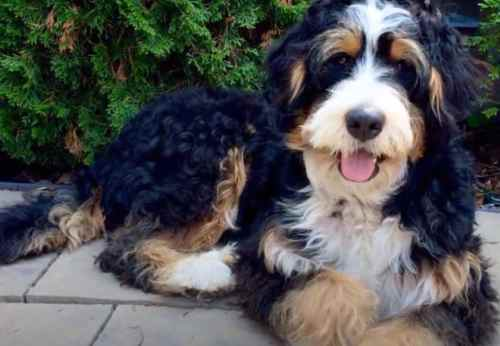 Mini Bernedoodles are pretty unique among other breeds