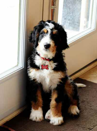 Mini Bernedoodles combine wonderful qualities of Berners and poodles