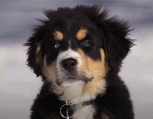 Bernese Aussia Puppy