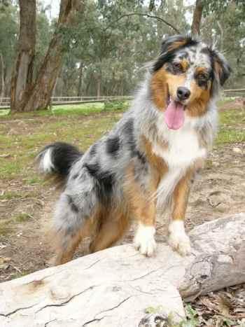 Bernese Mountain Dog Australian Shepherd Mix
