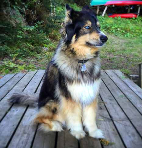 Bernese Mountain Dog Husky mixes tend to have longer, thicker coats than their Husky parents.