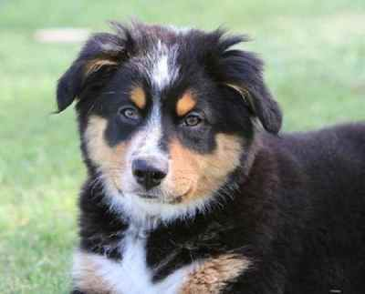 Bernese Mountain Dog Australian Shepherd Mix is a medium-to-large size dog with powerful musculature and thick coat.