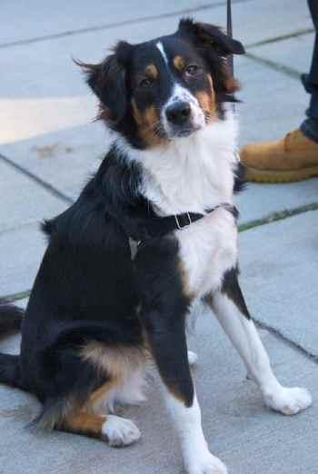 Personality is where the Bernese Mountain Dog Australian Shepherd Mix really shines