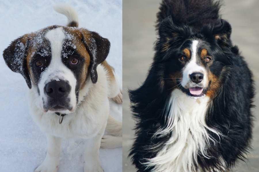 Saint Bernard Bernese Mountain Dog mix