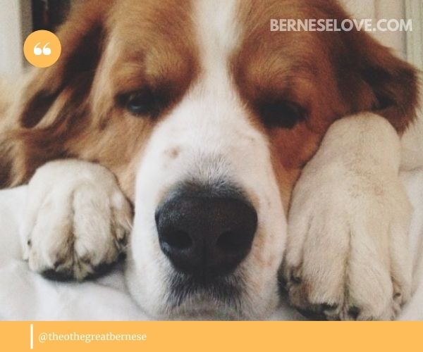 Bernese Mountain Dog Great Pyrenees Mix: energy levels