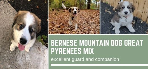 Bernese Mountain Dog Great Pyrenees Mix