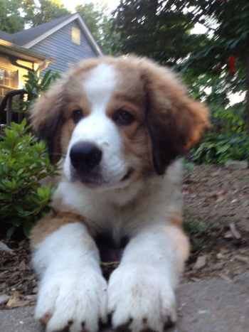 Bernese Mountain Dog Great Pyrenees Mix is a large, powerful, well-muscled dog