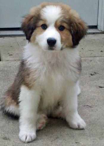 Bernese Mountain Dog Great Pyrenees Mix is a friendly, outgoing and confident dog.