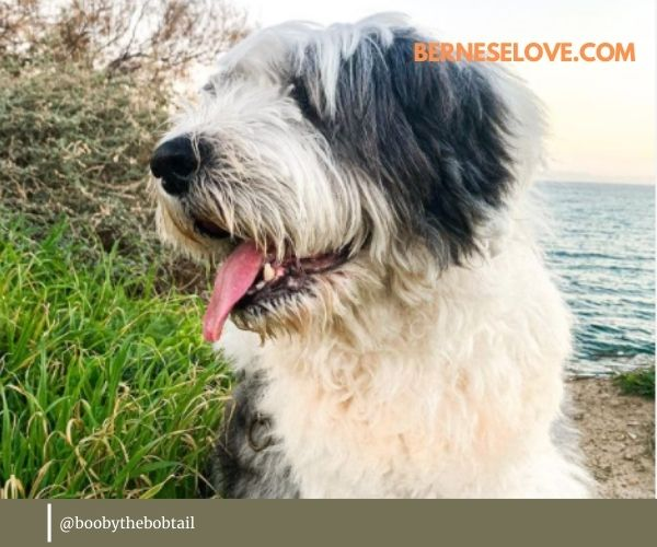 English Sheepdog Owner Review