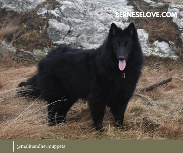 Belgian Sheepdog appearance