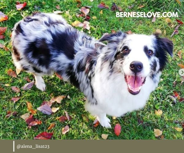 Australian Sheepdog Owner Review