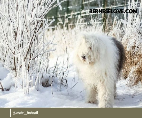 English Sheepdogs are very beautiful dogs