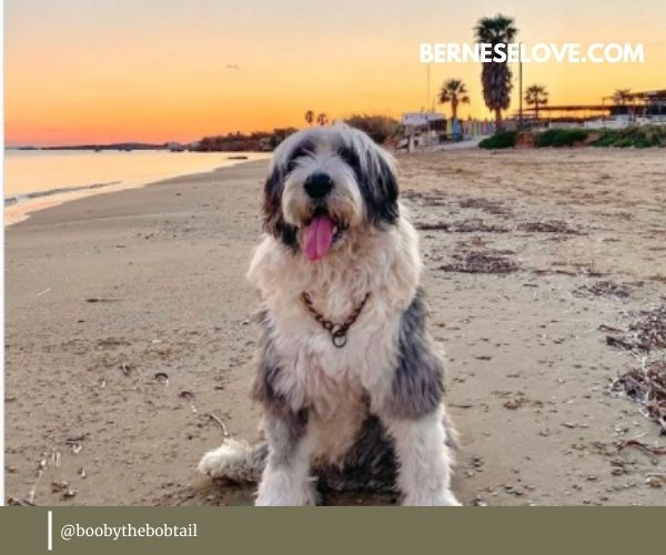 English Sheepdog is quite a large dog