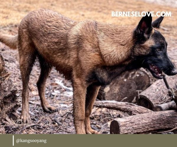 Belgian Sheepdogs are true guard dogs with natural instincts