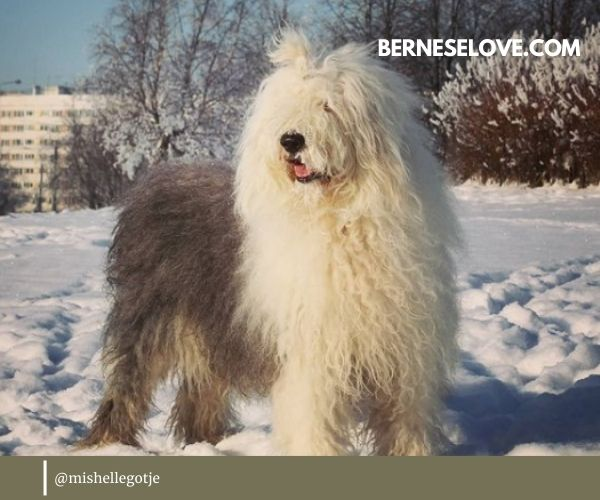English Sheepdog is quite an elegant, aristocratic breed