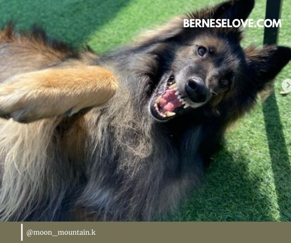 I would never recommend a Belgian Sheepdog to someone who isn't ready