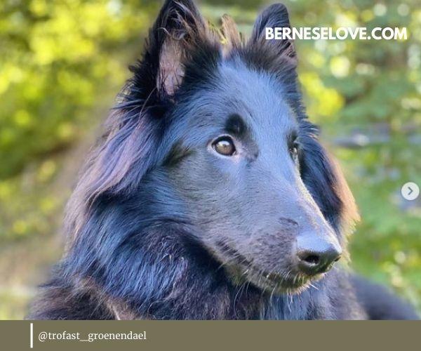 Belgian Sheepdog owner review