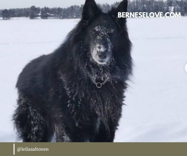 Belgian Sheepdog has a well-defined head with a long snout and dark nose