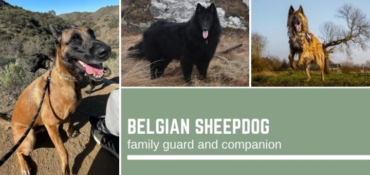 Belgian Sheepdog: family guard and companion