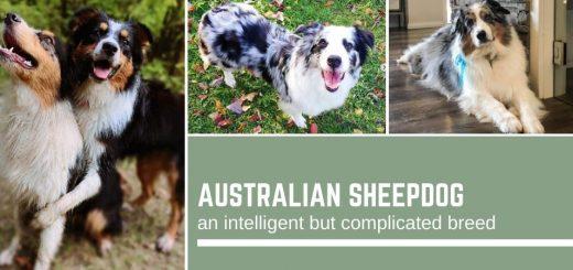 Australian Sheepdog: an intelligent but complicated breed
