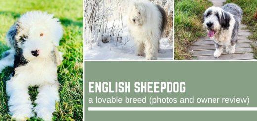 English Sheepdog: a lovable breed