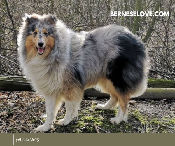Among dogs that herd sheep, Rough Collie certainly stands out