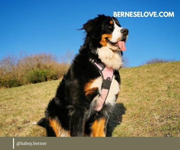 Dogs that herd sheep: Bernese Mountain Dog