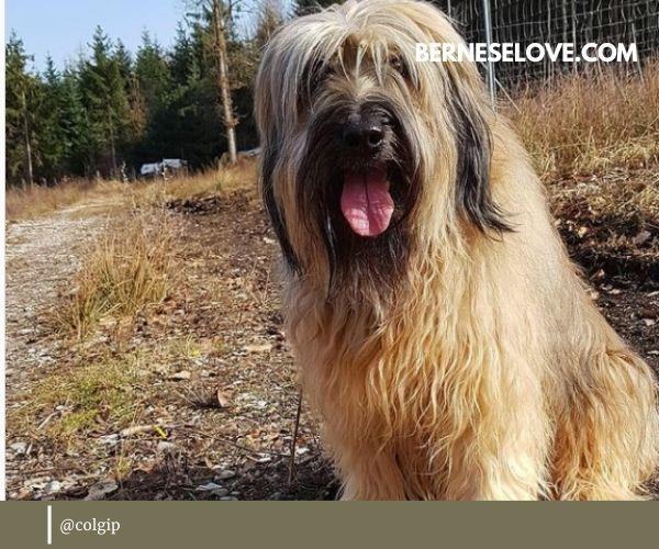 Sheep herding dogs: Portuguese Sheepdog