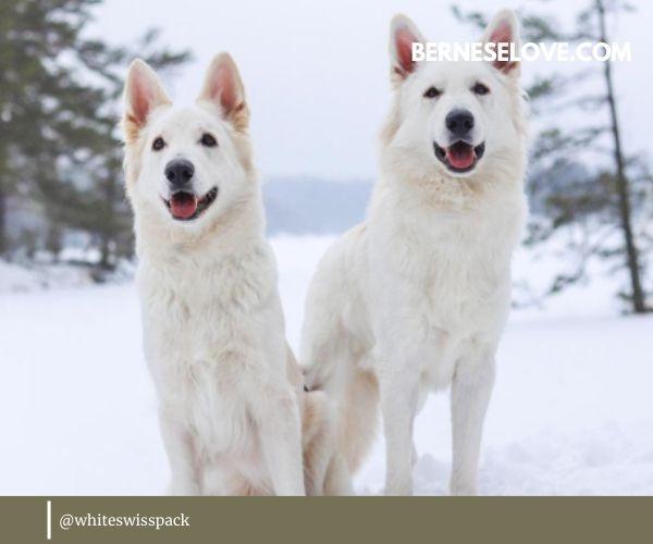 Sheep Herding Dogs: White Swiss Shepherd