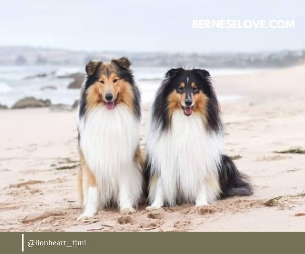 Rough Collies are quite a sturdy breed (as are all sheep herding dogs)