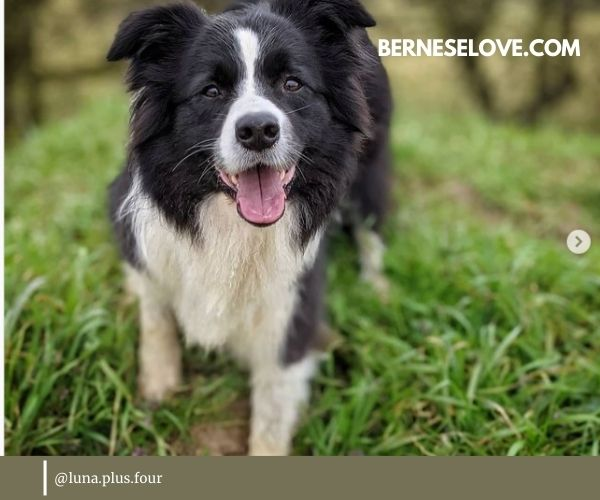 Border Collie is another highly popular breed of sheep herding dogs