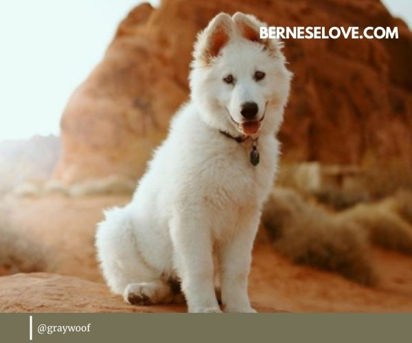 White Swiss Shepherd is another wonderful example of sheep herding dogs.
