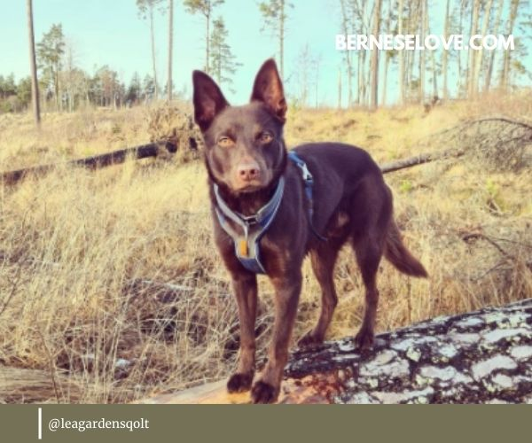 Kelpies are some of the most sought-after herding breeds out there