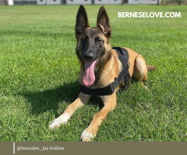 Their family is the very center of life for the Malinois German Shepherd Mix.