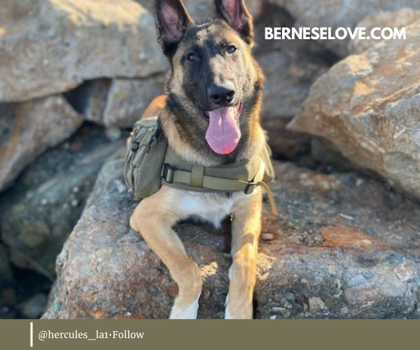 Same can be said about Malinois German Shepherd Mix in relation to other dogs