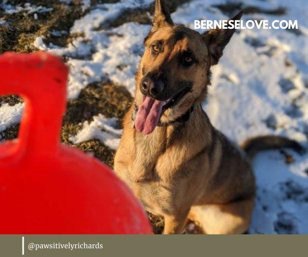 Malinois German Shepherd Mix will stay an active, playful dog