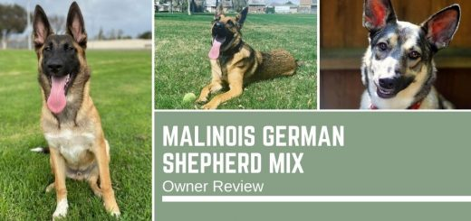 Malinois German Shepherd Mix: Owner Review