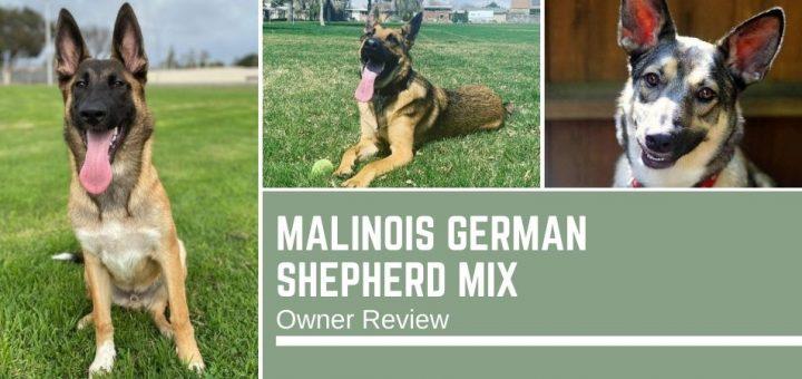 Malinois German Shepherd Mix: Owner Review